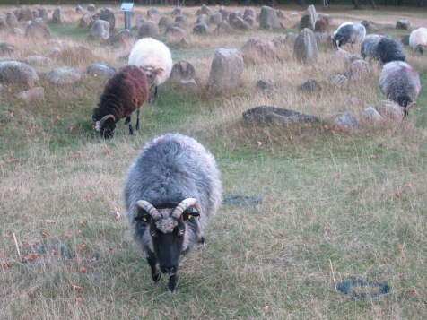 Viking sheep grazing